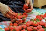 برداشت توت فرنگی از مزارع سنندج