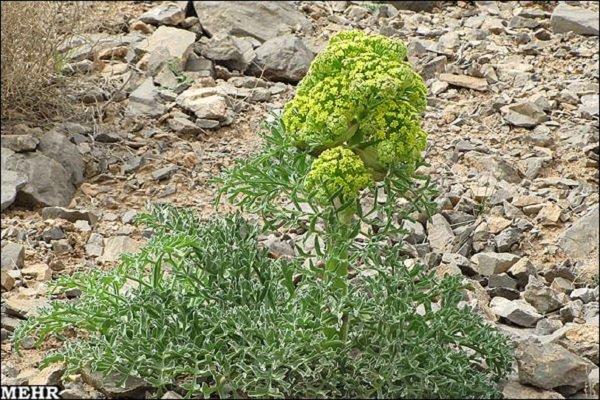 شیرابه گیاهی؛ ظرفیت صادراتی کهگیلویه وبویراحمد/ آنغوزه طلای سفید