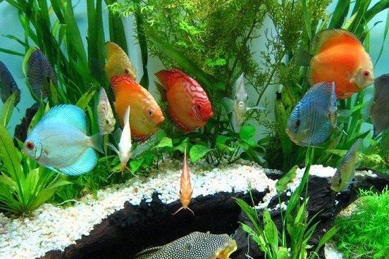 نتیجه تصویری برای ماهی زینتی