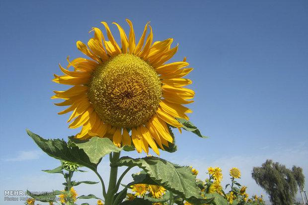 مزرعه گلهای آفتاب گردان هشت بندی هرمزگان