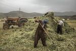 خرمن کوفتن سنتی در روستاهای کردستان