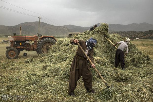 Wheat threshing