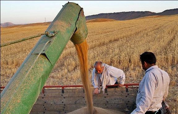 استقبال کشاورزان از خرید تضمینی گندم/بازار دلالان کسادتر شد