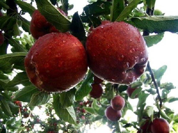 جشنواره سیب مراغه روز جمعه برگزار می شود