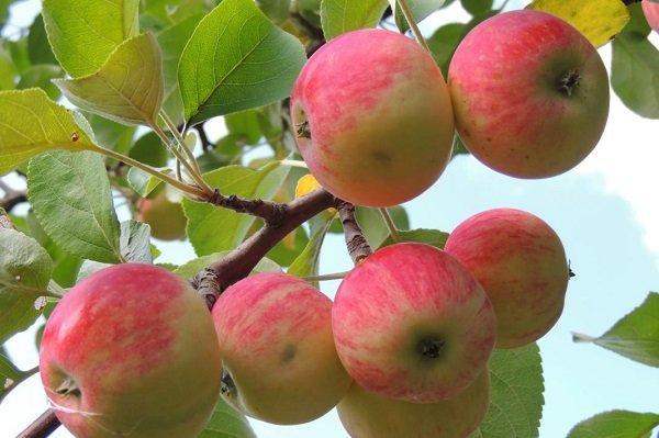سیب تولیدی هشترود با نام مراغه به بازار کشور عرضه میشود