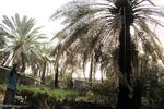 آتش سوزی در نخلستان هاس بارور شهرستان هشت بندی استان هرمزگان