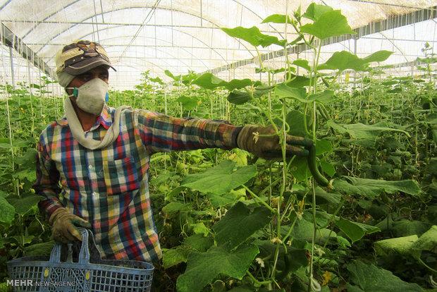 برداشت خیار از گلخانه کشاورز کار آفرین