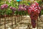 کراپشده - انگور