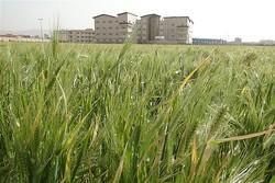 کشت جو در ۳۰ هزار هکتار از مزارع کشاورزی استان قزوین
