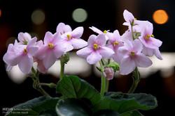 Arak flower exhibition