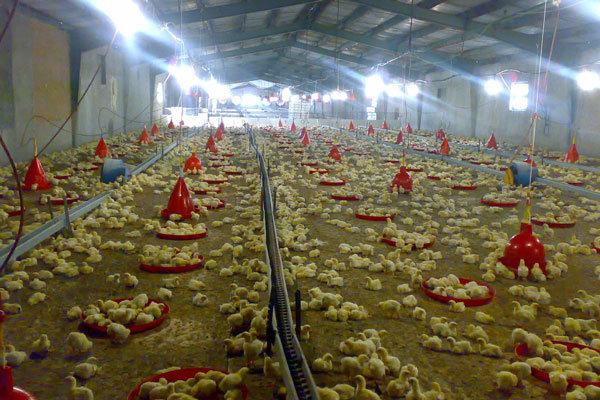 جوجه ریزی در واحدهای پرورش مرغ گوشتی سمنان ۱۳ درصد رشد داشت