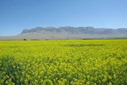 پیش بینی تولید ۲۵۰۰ تن دانه روغنی کلزا در استان مرکزی طی سال جاری