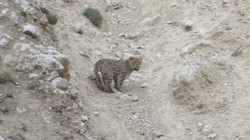 تصویر برداری از یک قلاده پلنگ در منطقه شکار ممنوع خنار