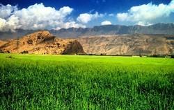 کشت محصولاتی که از برنج آببرتر است/ بحران آب تشدید نشود