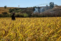 هجوم ملخ ها به مزارع ماداگاسکار