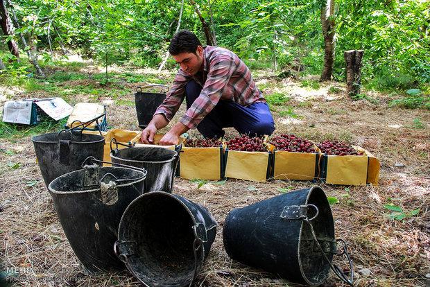 ۳۵ هزار خانوار لرستانی در حوزه باغبانی مشغول بهکار هستند