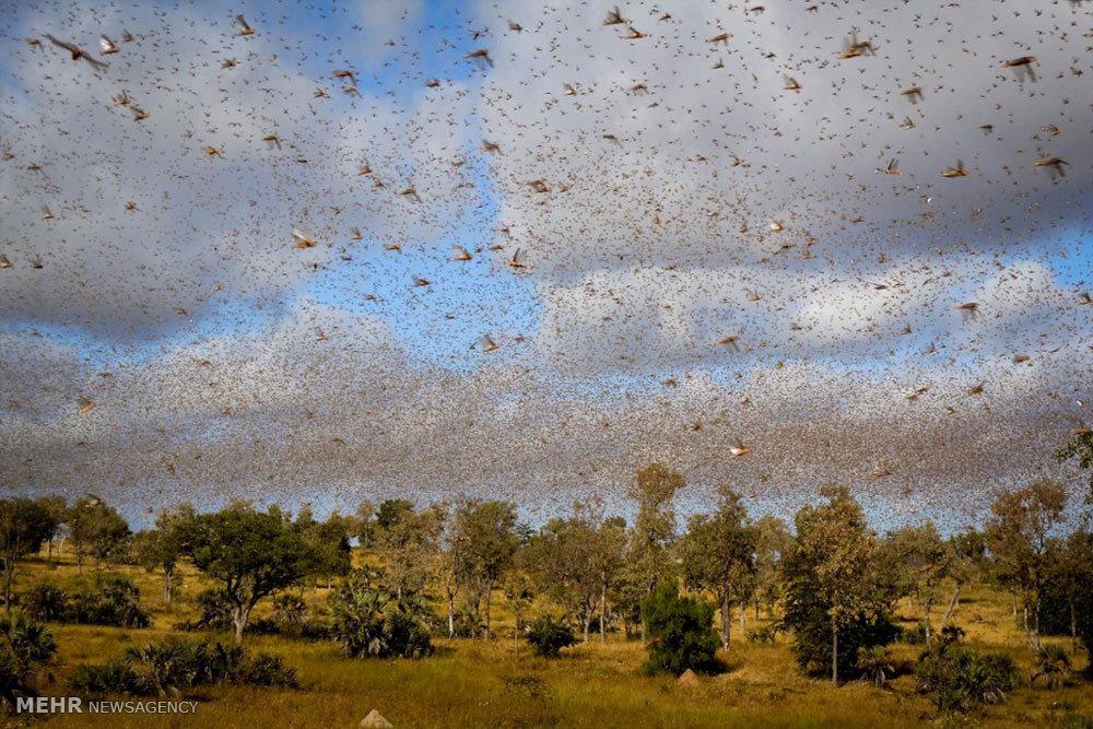 حمله ملخ ها Grasshopper