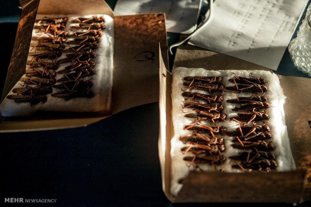 حمله ملخ ها Grasshopper,هجوم ملخ ها