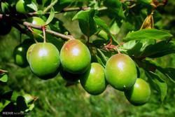 ۵ درصد میوه کشور در آذربایجان شرقی تولید می شود