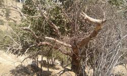 خشکیدگی درختان بلوط استان فارس تحت کنترل است