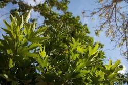 چنارهای شاهرود نماد زندگی/ حال درختان شهرمان خوب نیست
