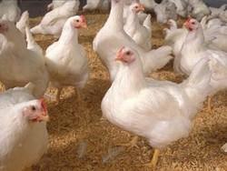 زمینه شیوع آنفلوانزای فوق حاد پرندگان فراهم است/هشدار به کشاورزان
