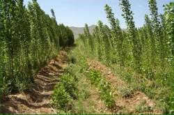 اجرای طرح توسعه زراعت چوب در استان تهران
