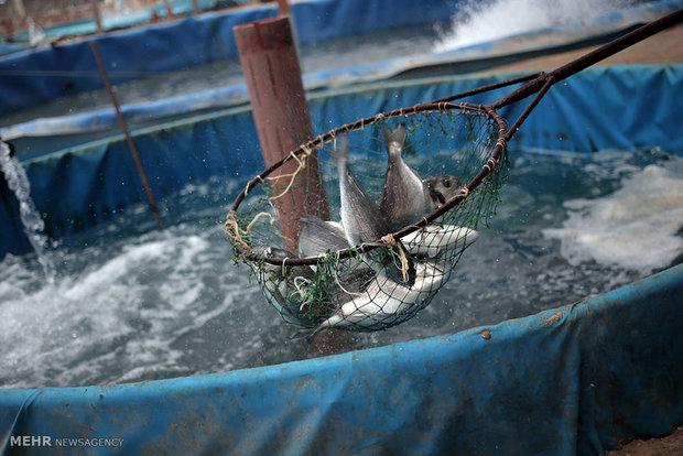 البرز با کمبود بچه ماهی مواجه نیست/ تولید ۱۶۹۳ تن ماهی سردآبی