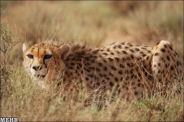 Asiatic Cheetah spotted in NE Iran
