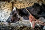 شیوع بیماری ابله گاوی در مازندران