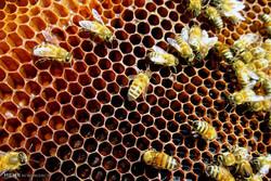 اسکاٹ لینڈ میں 60 ہزار شہد کی مکھیوں کی چوری