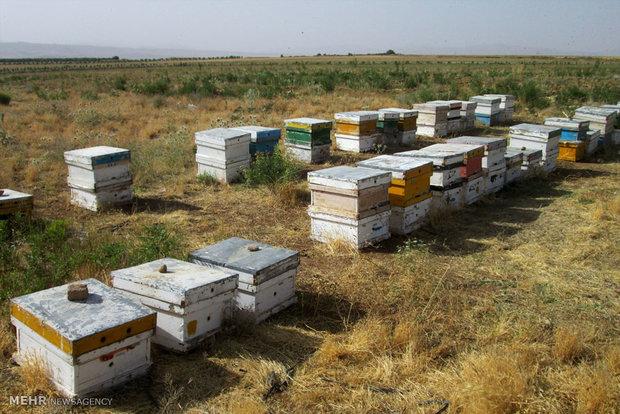 کلونی های زنبور عسل در منطقه ایسپیدگان سمیرم