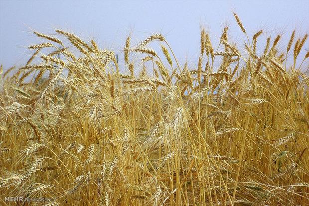 دریافت مابهالتفاوت ۱۵۰ تومانی از واردات هر کیلوگرم گندم و جو