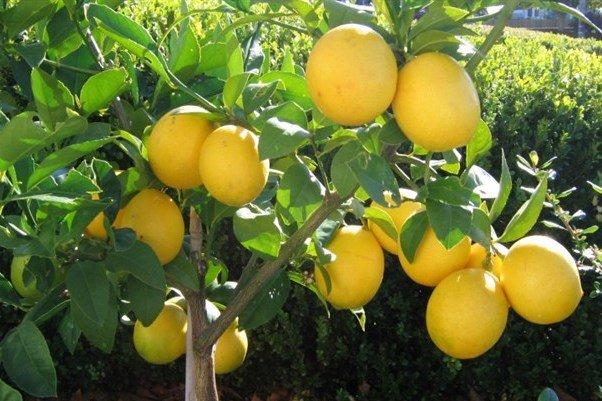 لیموں کے بیشمار فوائد