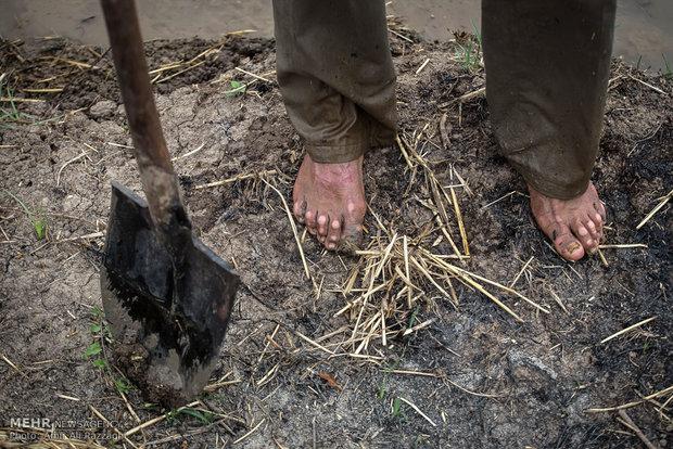 فعالیت کشاورزان در ماه مبارک رمضان ، مزارع کشاورزی استان مازندران