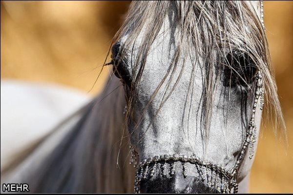 مركز ذخاير ژنتيكی اسب در ايران راهاندازی میشود
