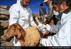 عملیات واکسیناسیون تب برفکی دام سبک در استان مرکزی آغاز شد