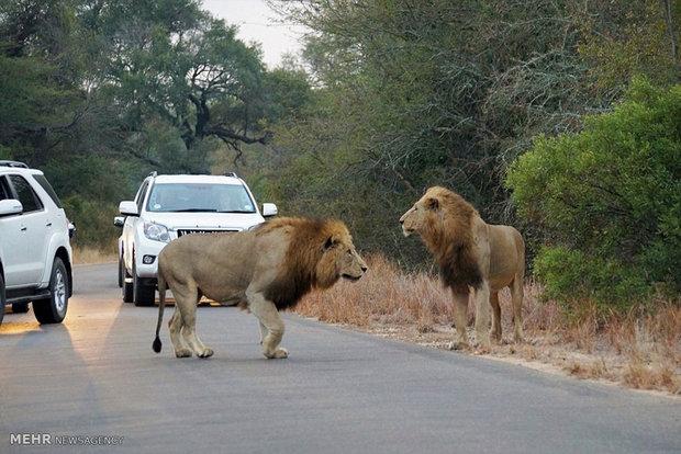 شکار مقابل چشمان گردشگران