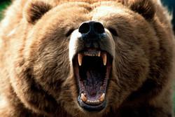 حمله خرس به کودک سرابی/ به قلمرو حیات وحش با احتیاط سفر کنید