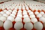صادرات تخم مرغ نصف شد/ توان رقابت نداریم