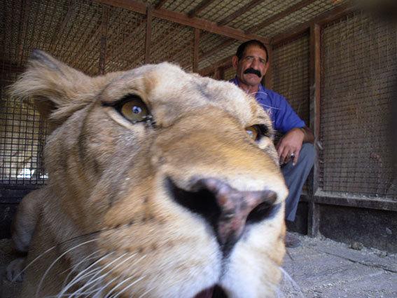 لاہور میں شیروں کےحملےمیں نوجوان ہلاک