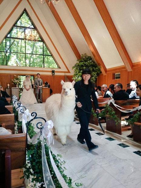 wedding-alpacas.jpg