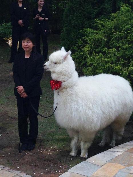 wedding-alpacas2.jpg