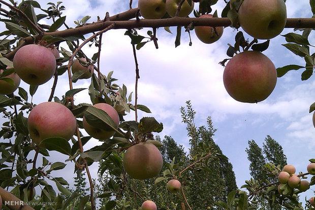 روزانہ ایک سیب کھانے سے  بڑھاپا دور رہتا ہے