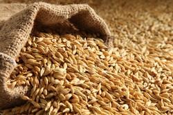 رشد ۱۱ درصدی خرید و توزیع بذر جو