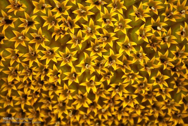 مزرعه گلهای آفتابگردان