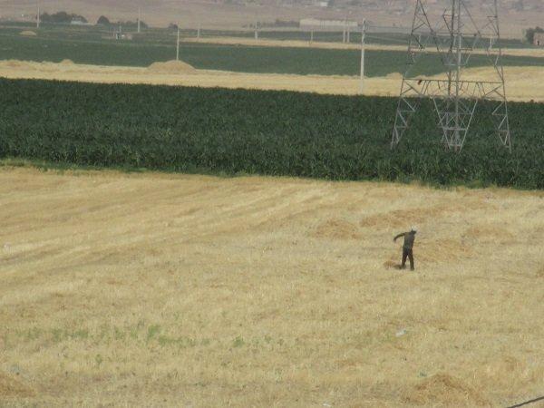 برداشت محصول - کوهدشت