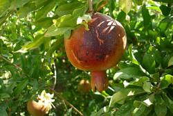 آفتاب سوختگی محصول انار ساوه و خسارت به باغداران