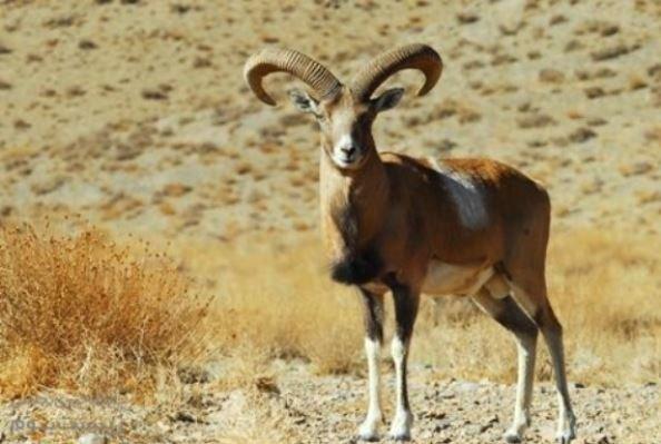 Persian Mouflon cloned in Iran