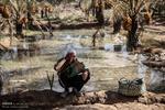 فصل برداشت رطب در بوشهر